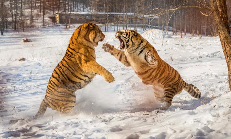 тигры драка